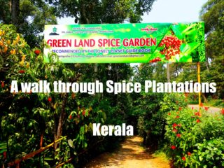 A walk through a spice plantation in Kerala